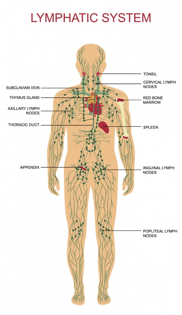The lymph system is a network of organs, nodes, ducts, and vessels throughout the body that form a major part of the immune system.